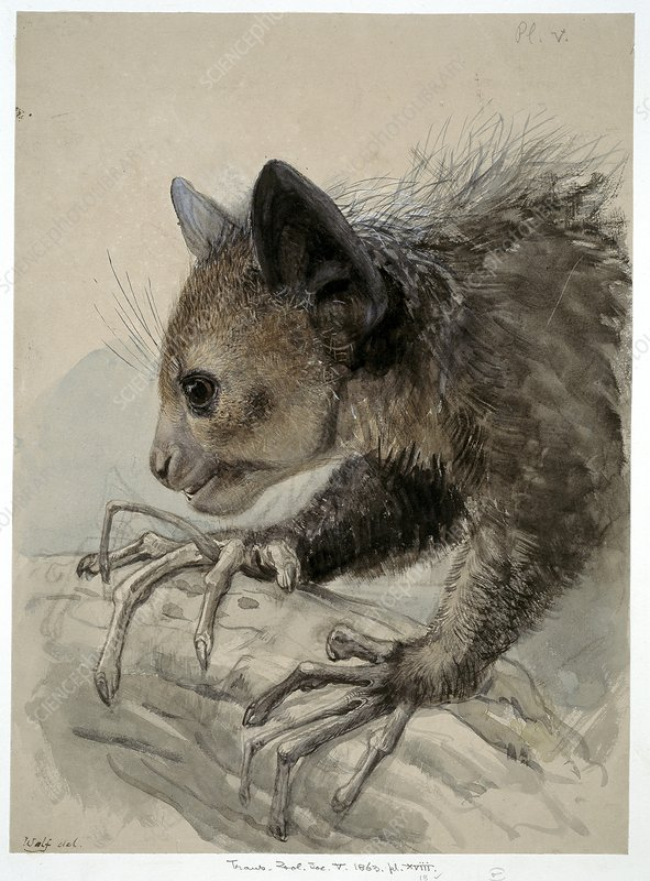 Aye-aye, artwork