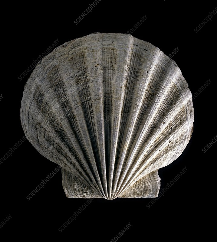 Fossil scallop shell