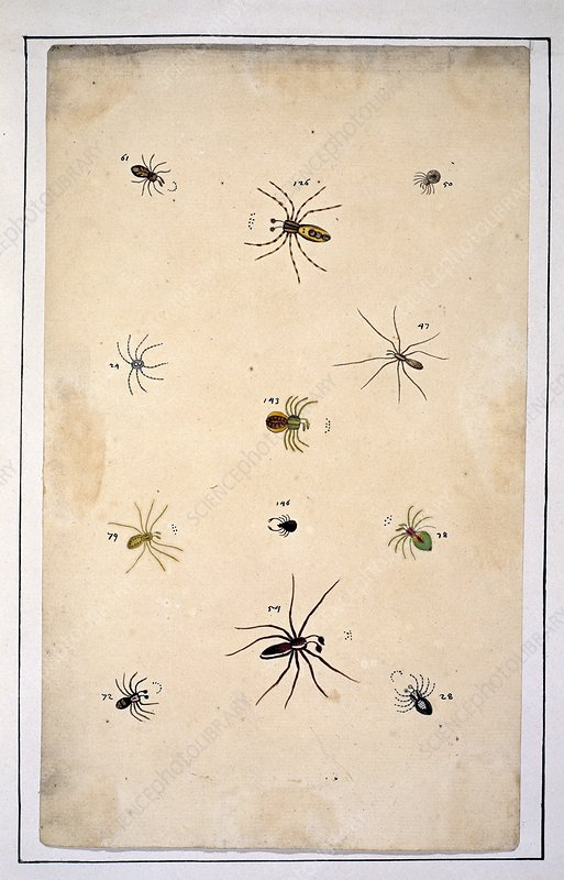Spiders, 18th century artwork
