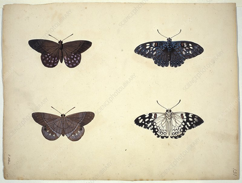 Butterflies, 18th century artwork