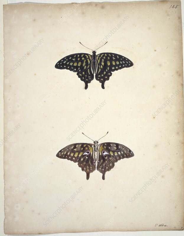 Tailed jay butterflies, artwork