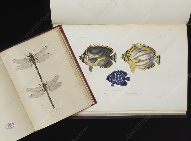 Dragonfly and fish illustrations