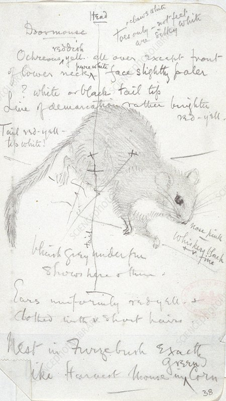 Common dormouse, sketch
