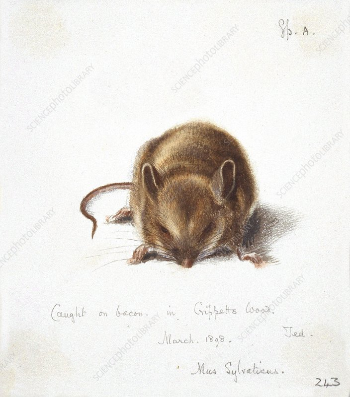 Long-tailed field mouse, artwork