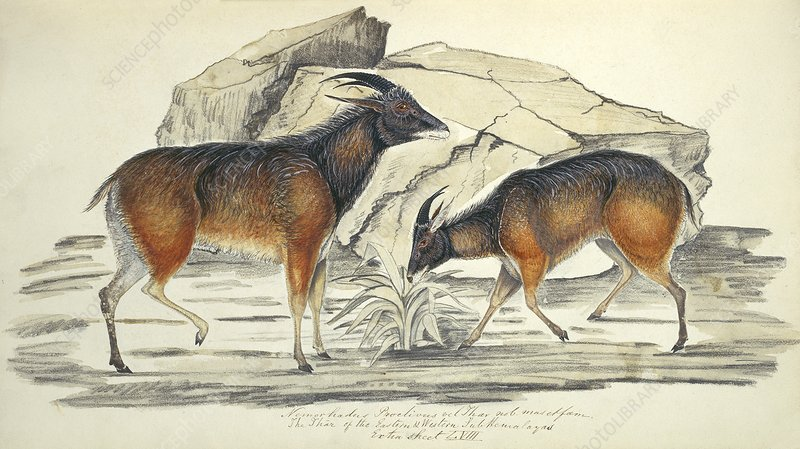 Himalayan tahr, artwork
