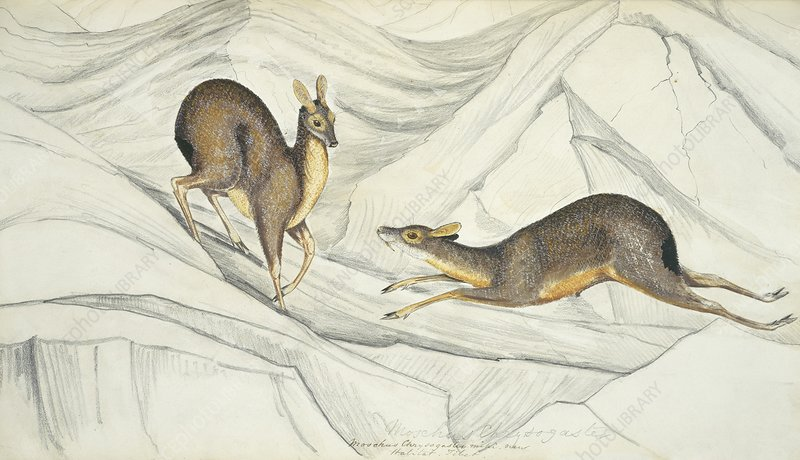 Alpine musk deer, artwork
