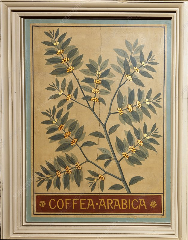 Coffee (Coffea arabica), decorative panel