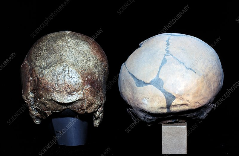 Cro-magnon and Neanderthal skulls