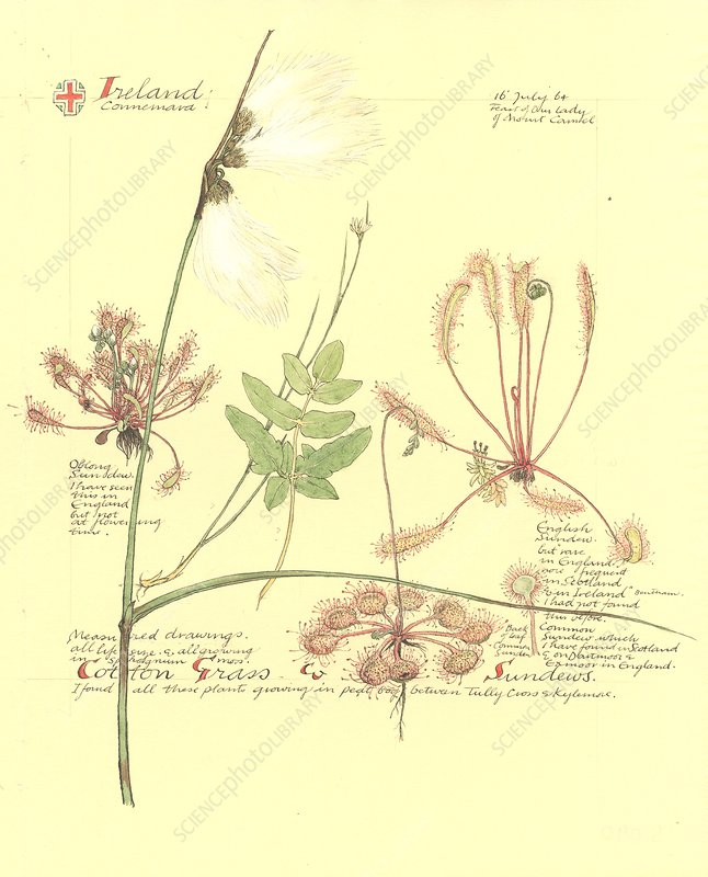 Eriophorum sp. and Drosera sp., artwork