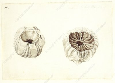 Barnacle, 19th century artwork