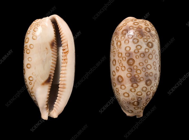 Hundred-eyed cowrie shells