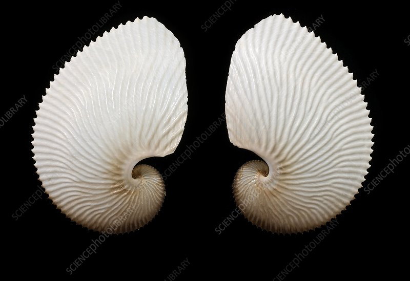 Brown paper nautilus shells