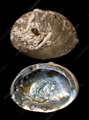 Green abalone shells