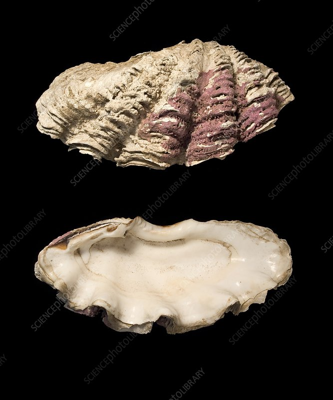 Giant clam shells
