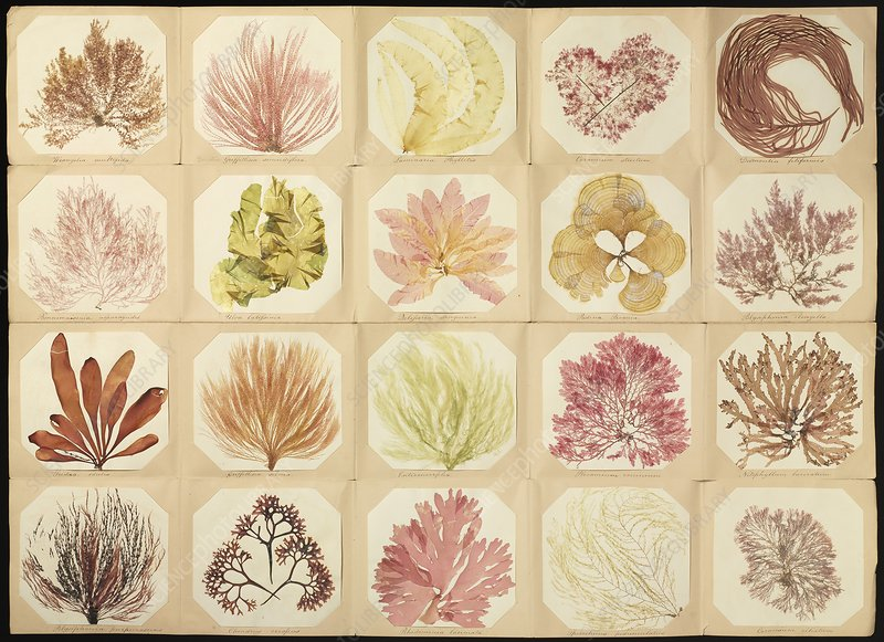 Pressed seaweed specimens