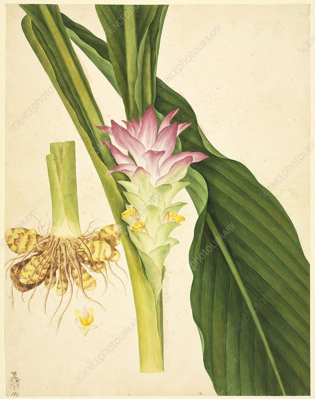 ginger (Zingiber officinale), artwork