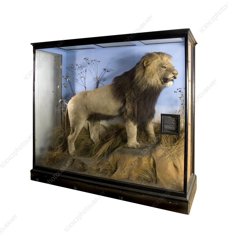 Cape lion specimen