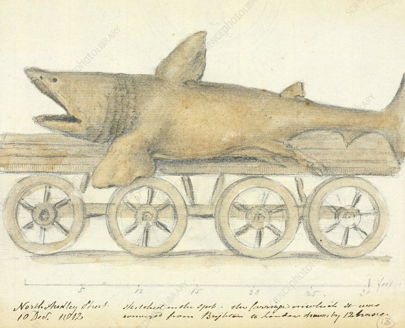 Basking shark, 19th century artwork