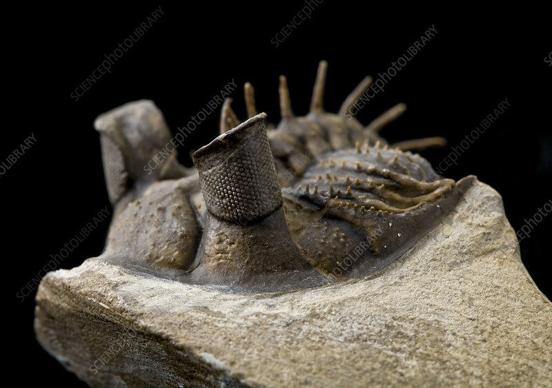 Tower-eye trilobite fossil - Stock Image - C016/6220 - Science Photo