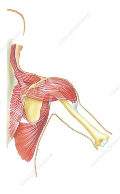 Shoulder joint movement, artwork