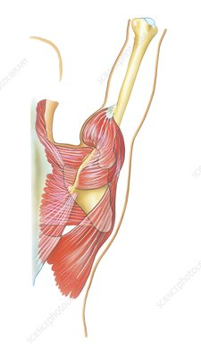 Shoulder joint movement, artwork