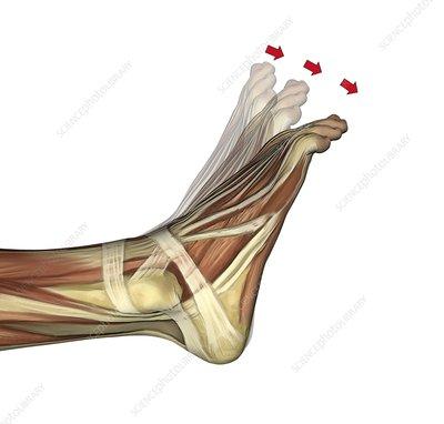 Plantarflexion of the foot, artwork