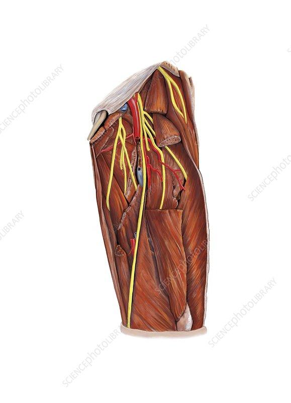 Thigh nerve plexus, artwork