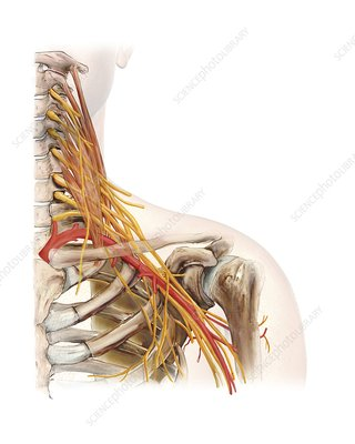 Left shoulder and nerve plexus, artwork
