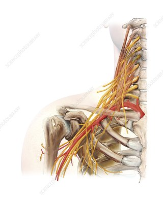 Right shoulder and nerve plexus, artwork