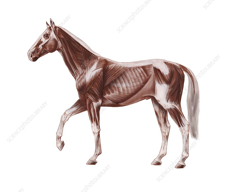 Horse anatomy, artwork