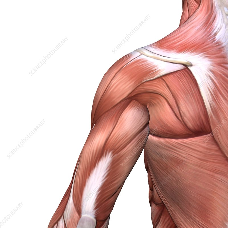 Shoulder and back muscles, artwork