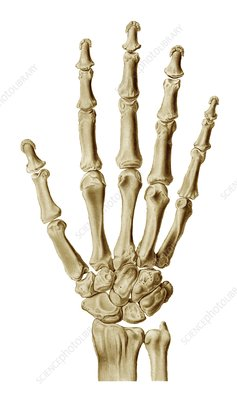 Hand and wrist bones, artwork