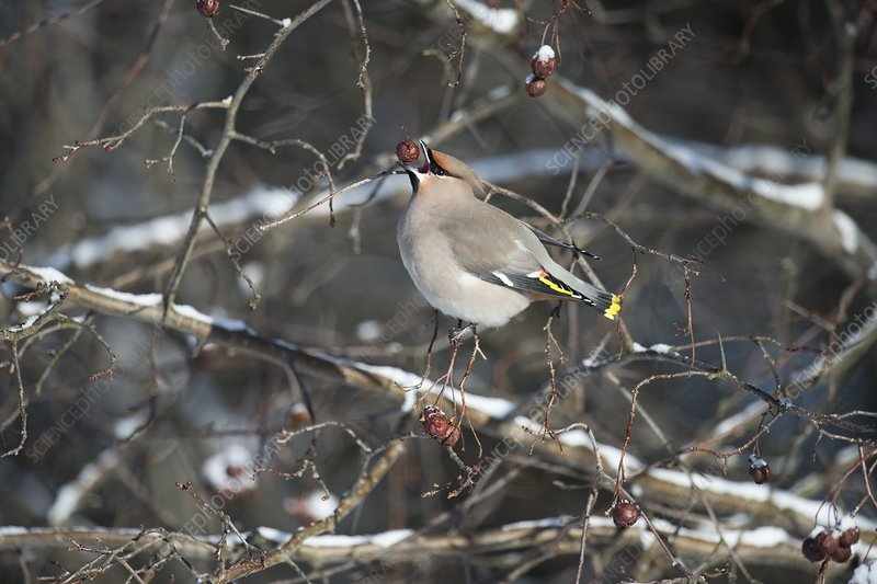 Waxwing eating a berry