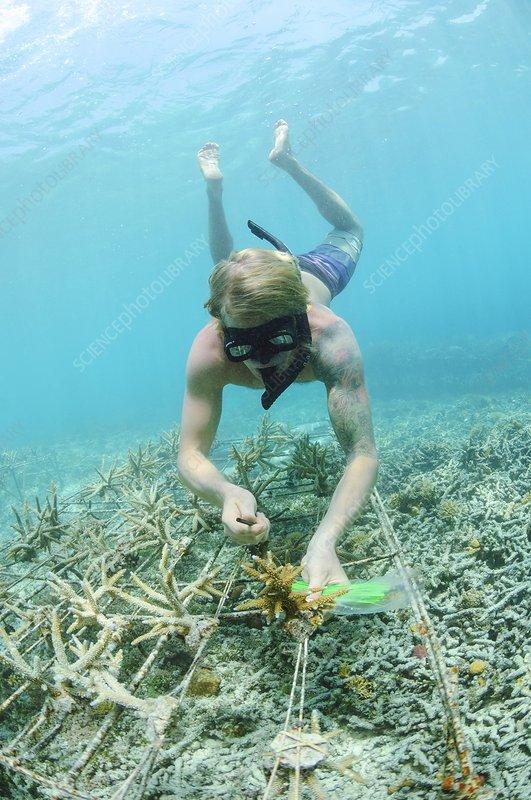 Biorock reef restoration, Indonesia