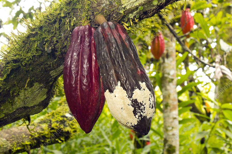 Diseased cocoa pods, Ecuador