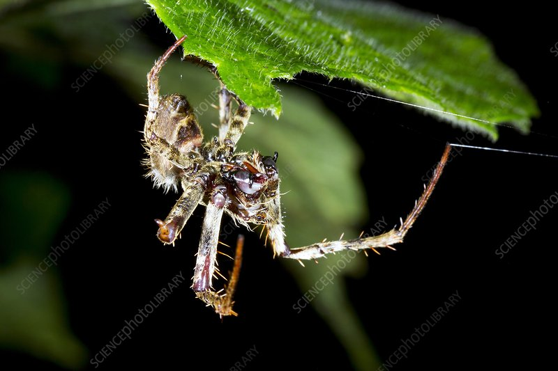 Tropical spider detecting prey