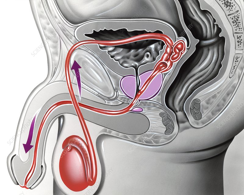 Male reproductive anatomy, artwork