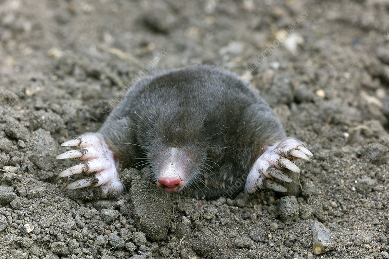 Common European mole