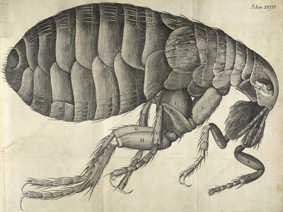 Microscopic flea anatomy, 17th century