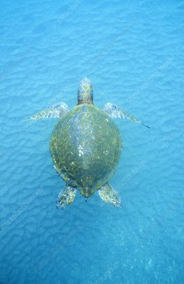 Galapagos green turtle
