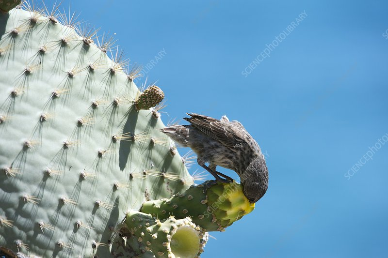Cactus finch eating prickly pear