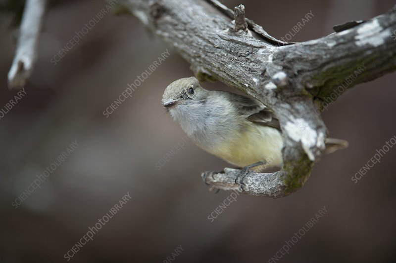 Galapagos flycatcher on a branch