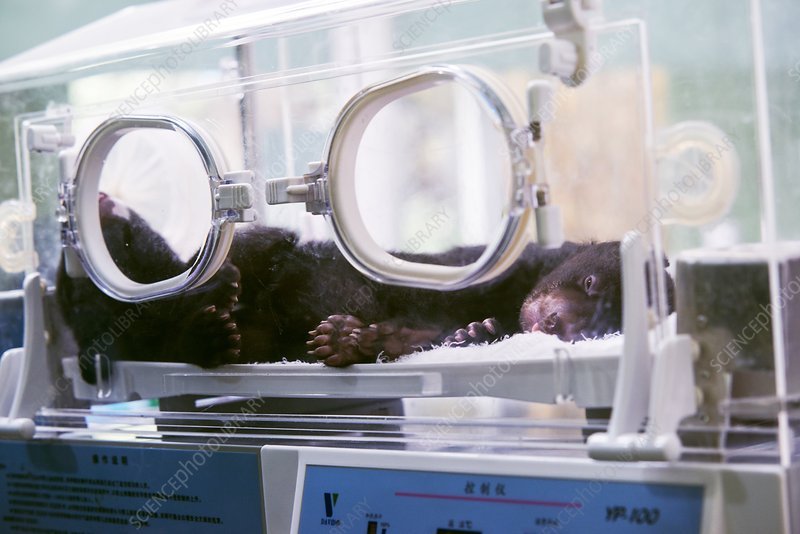 Black bear cub in incubator