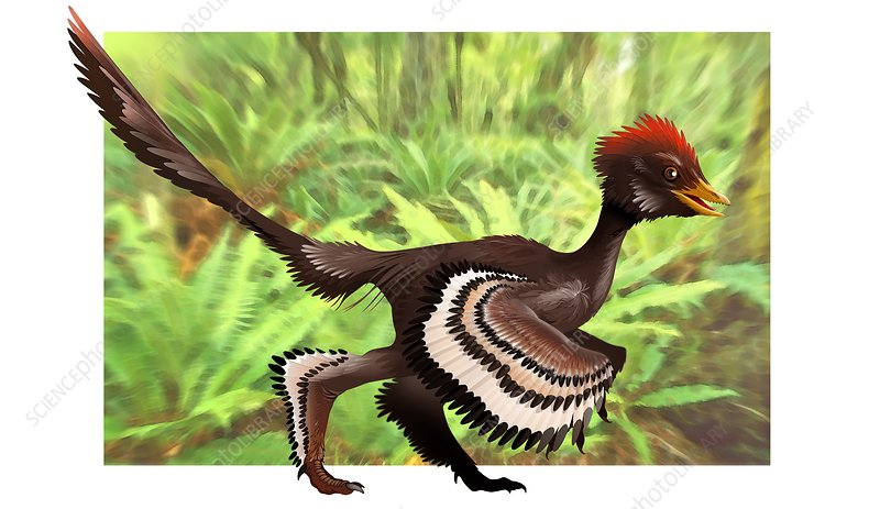 Anchiornis feathered dinosaur, artwork