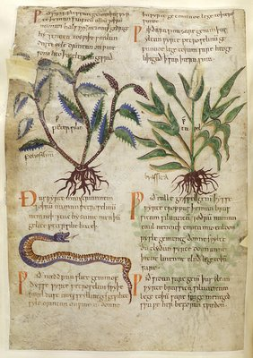 Old English Herbal page, 11th century