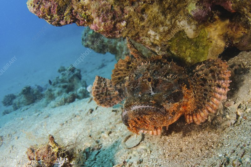 Stonefish - Red Sea
