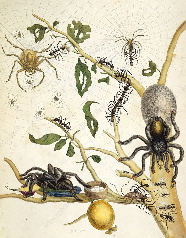 Ants and spiders of Surinam, 18th century
