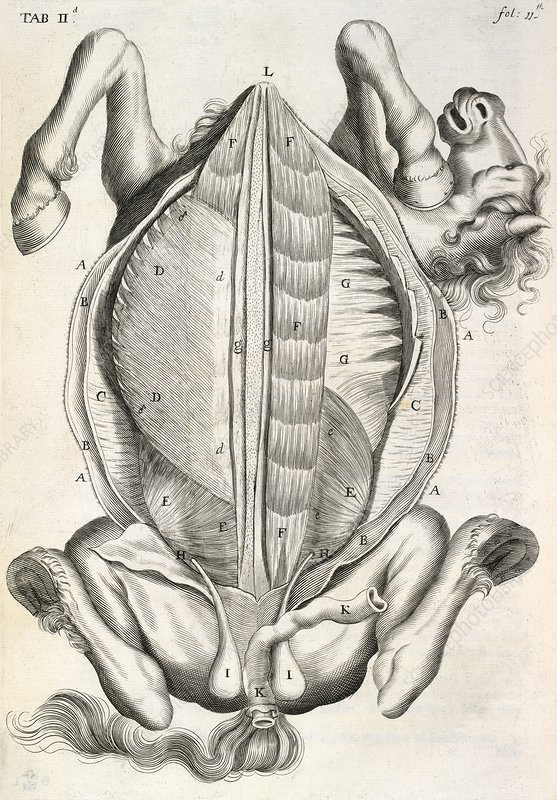 Horse anatomy, 17th-century artwork