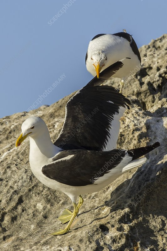 Kelp gulls fighting