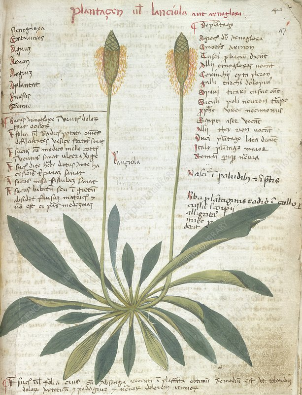 Plantain plant, 15th-century herbal